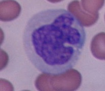 test o examen online sobre los tipos de leucocitos